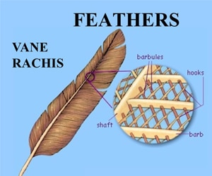 Facts Pigeon feather