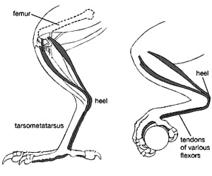 Facts Pigeon feet
