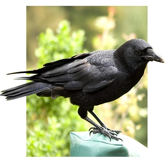 Crow pest bird
