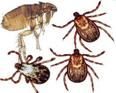 bird-mites