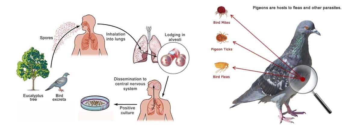 disease spread by pigeons